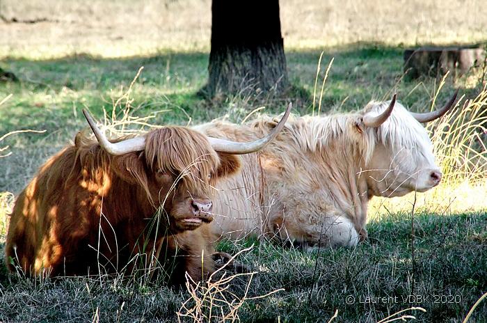 Vaches sur le remblai de l'ile du Jonquay, quartier d'Eauplet à Sotteville-lès-Rouen